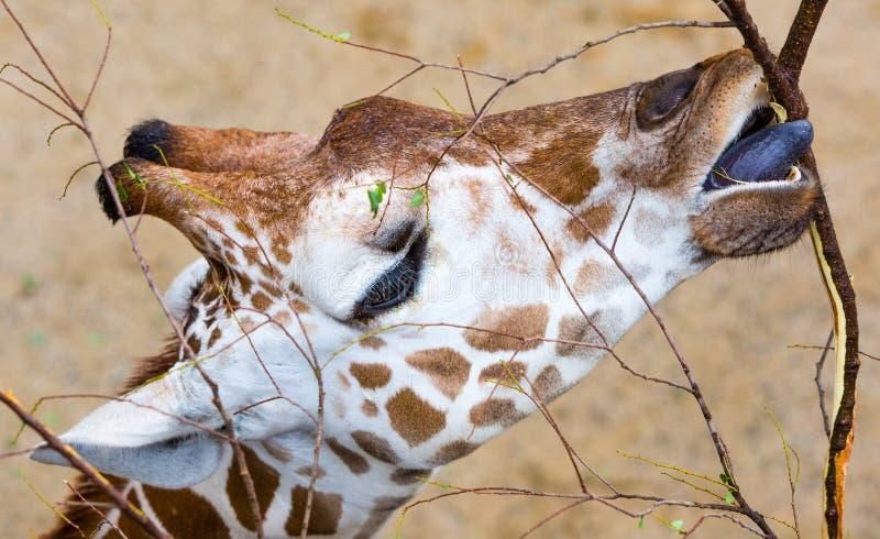 Еда жирафа конца-Вверх стоковые фото