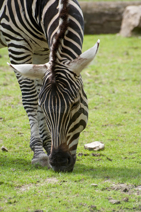 Еда зебры стоковое фото