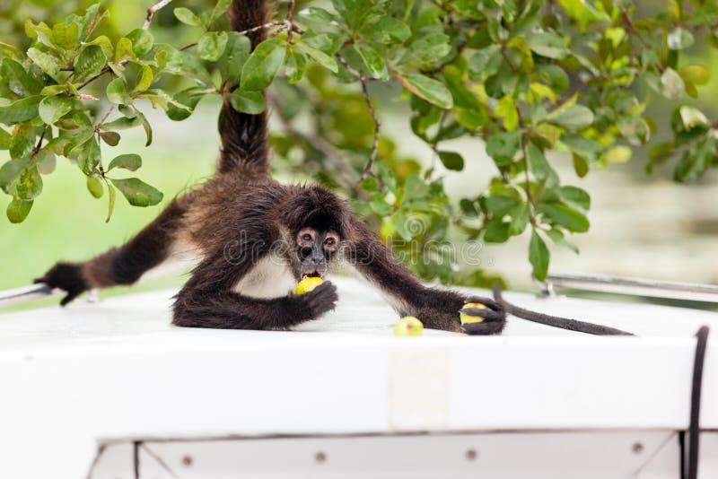 Еда обезьяны паука стоковые изображения rf