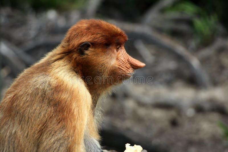 Еда обезьяны хоботка стоковые фотографии rf