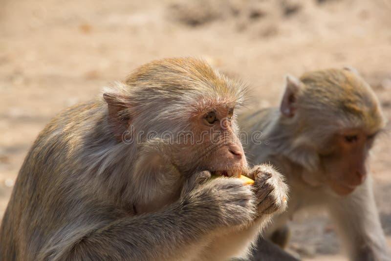 Download Еда обезьяны стоковое фото. изображение насчитывающей забавлять - 41657222