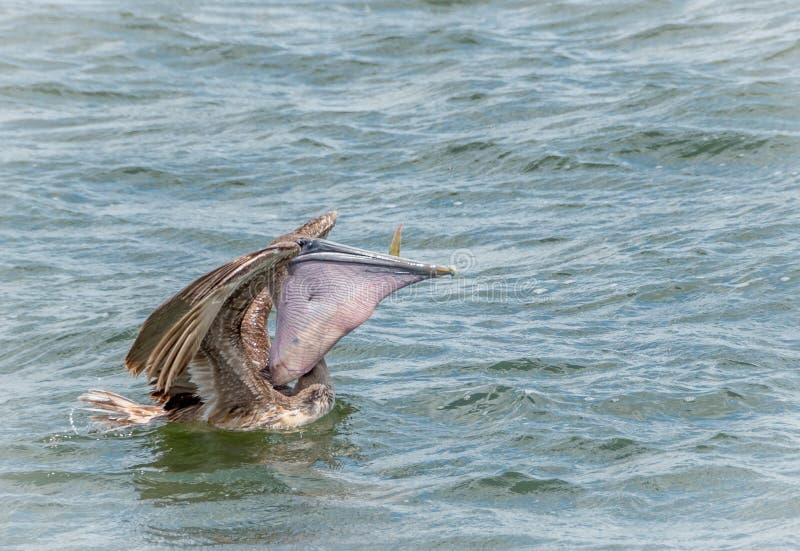 еда пеликана рыб стоковая фотография