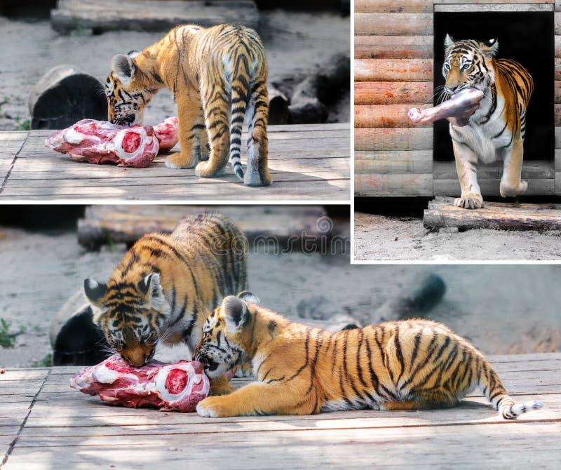 Еда тигра и новичка тигра стоковые фото