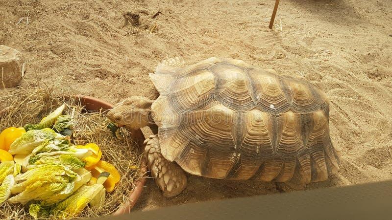 Еда черепахи в зоопарке стоковая фотография