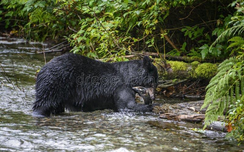 Еда черного медведя стоковые фотографии rf