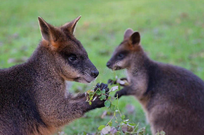Еда ` s Wallaby стоковое фото