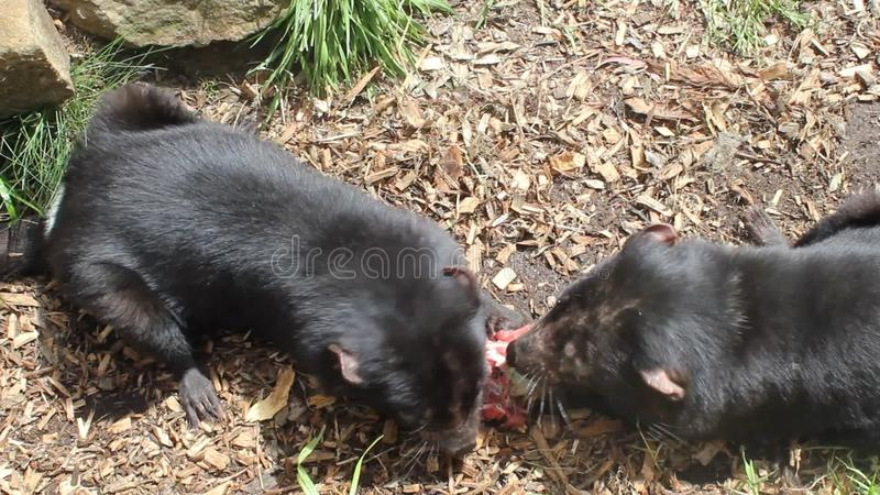 Еда 2 Tasmanian дьяволов сток-видео
