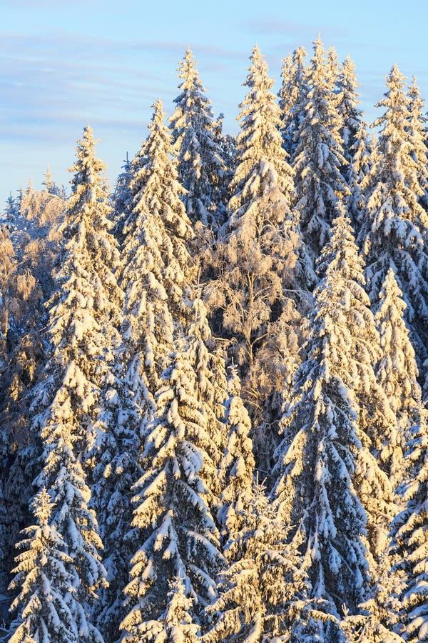 Download Елевые деревья с снегом стоковое фото. изображение насчитывающей сценарно - 81815004