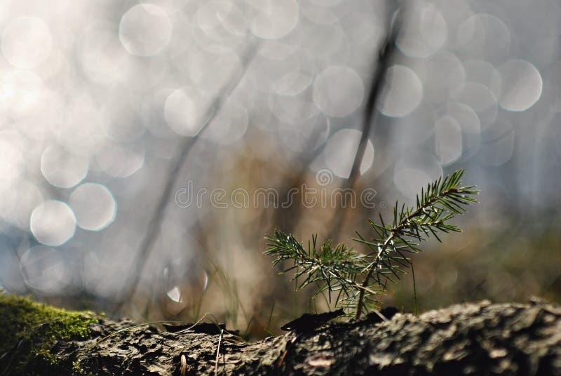 Елевый саженец дерева в свете весны стоковые изображения