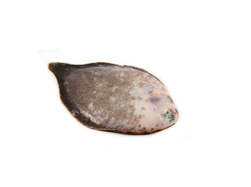 Единственные рыбы, flounder стоковые изображения