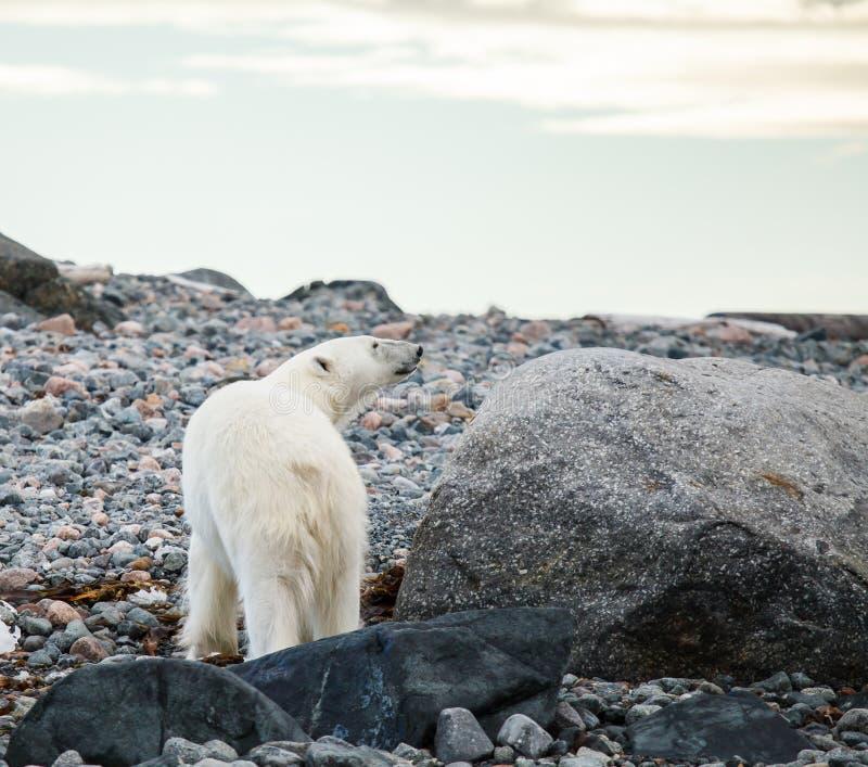 ледовитый медведь приполюсный стоковые фото