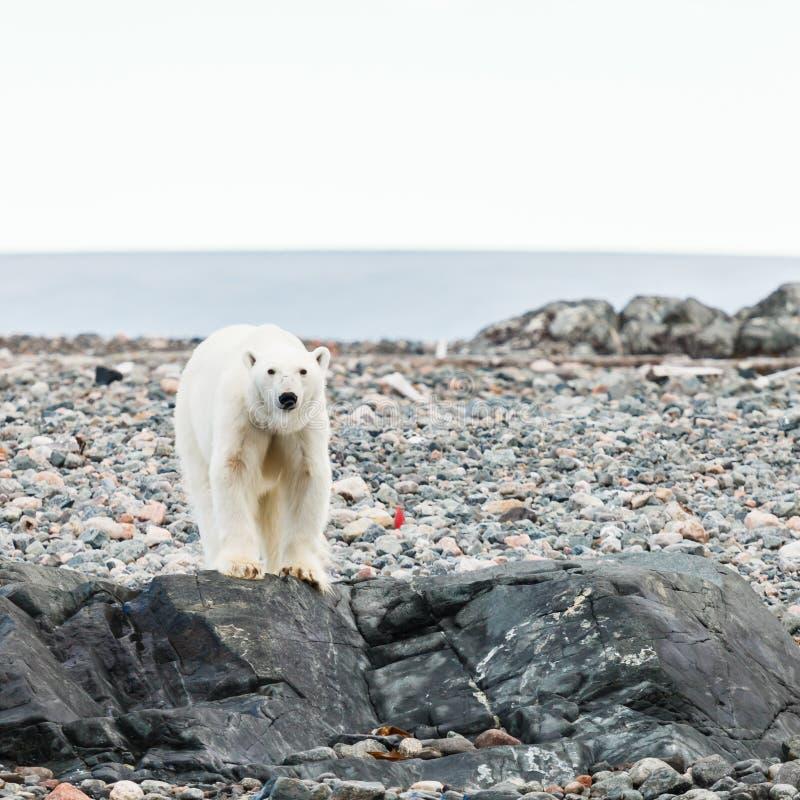 ледовитый медведь приполюсный стоковая фотография