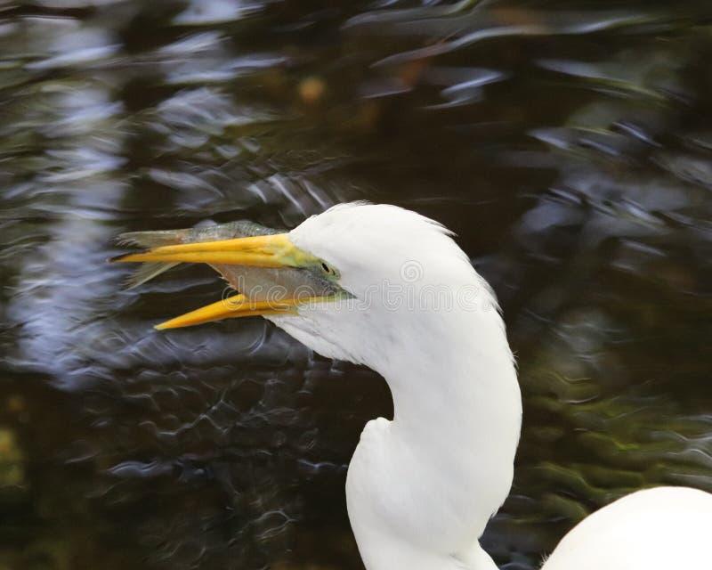 ел рыб egret снежных стоковое фото