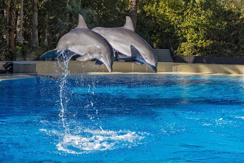 2 дельфина скача в образование стоковые фотографии rf