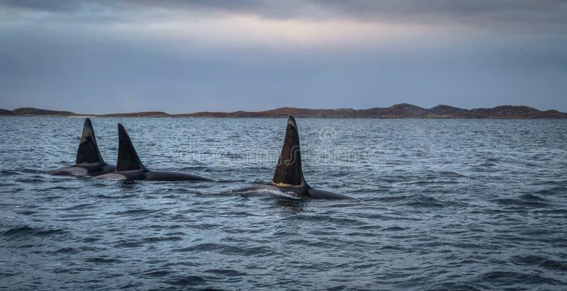 3 дельфин-касатки косаток в ландшафте Tromso Норвегии горы стоковое изображение