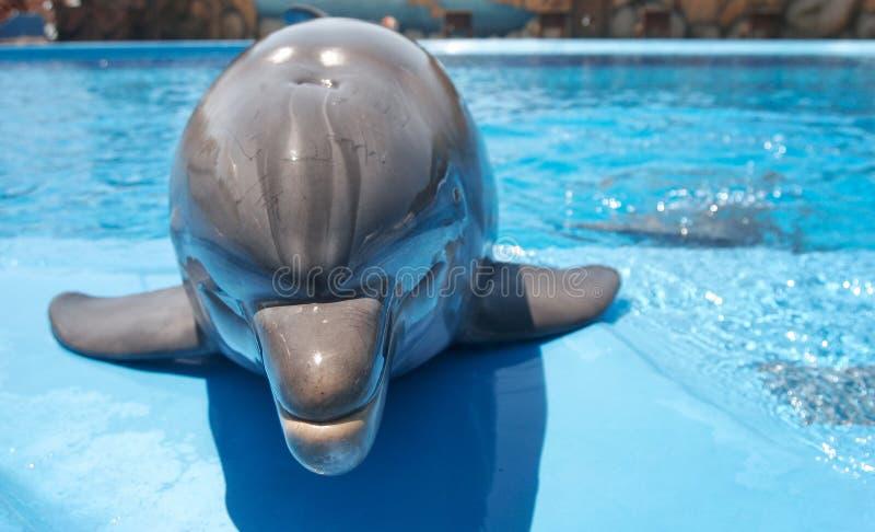 дельфин шаловливый стоковая фотография rf