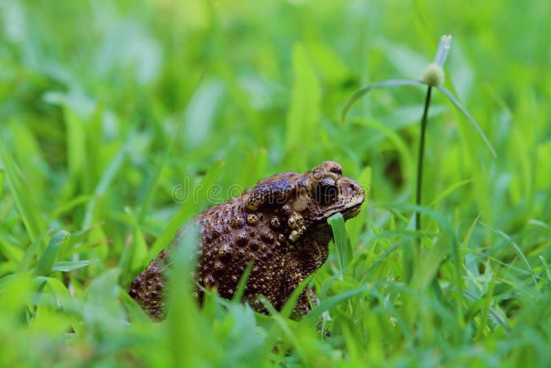 Жаба в траве стоковое изображение rf