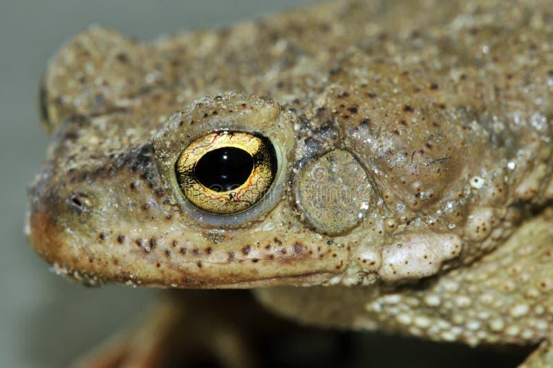 жаба глаза стоковая фотография