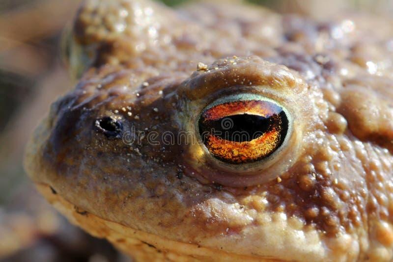 жаба глаза стоковое изображение rf