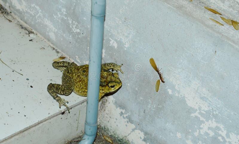 Жаба запертая на подёнке цели к подавать на стене дома после дождя стоковое изображение rf
