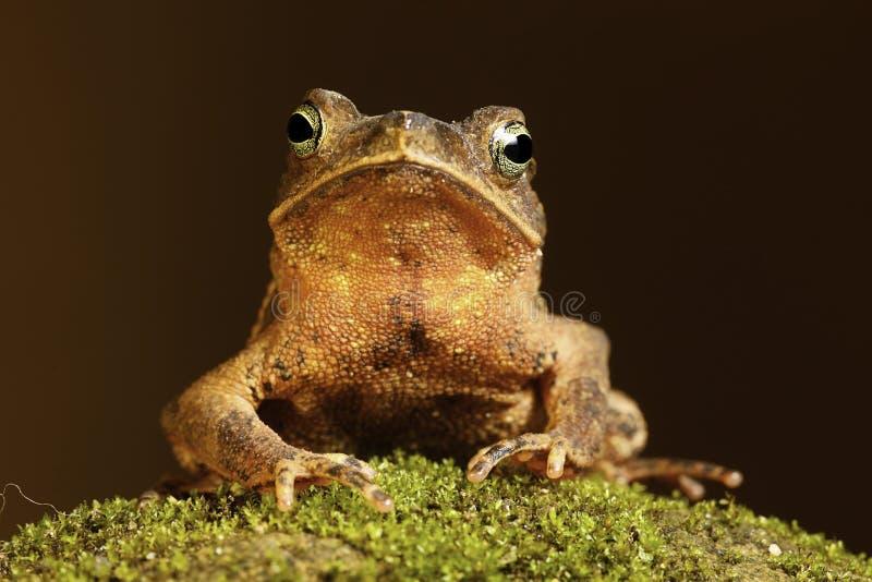 жаба мха Амазонкы тропическая стоковое изображение