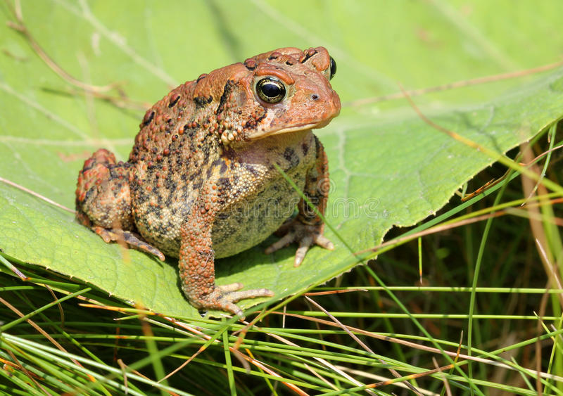Жаба/лягушка Брайна на зеленых лист стоковые фотографии rf