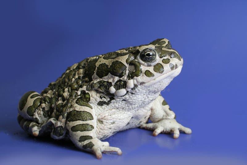 жаба стоковое изображение