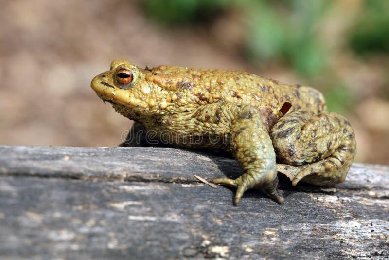 Жаба Bufo Bufo уроженец лягушки к зонам песочных и пустоши Европы стоковые изображения rf