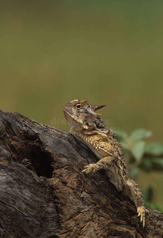 жаба horned ящерицы стоковое фото rf