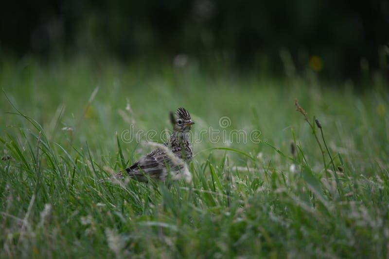 Жаворонок идя в траву стоковые изображения
