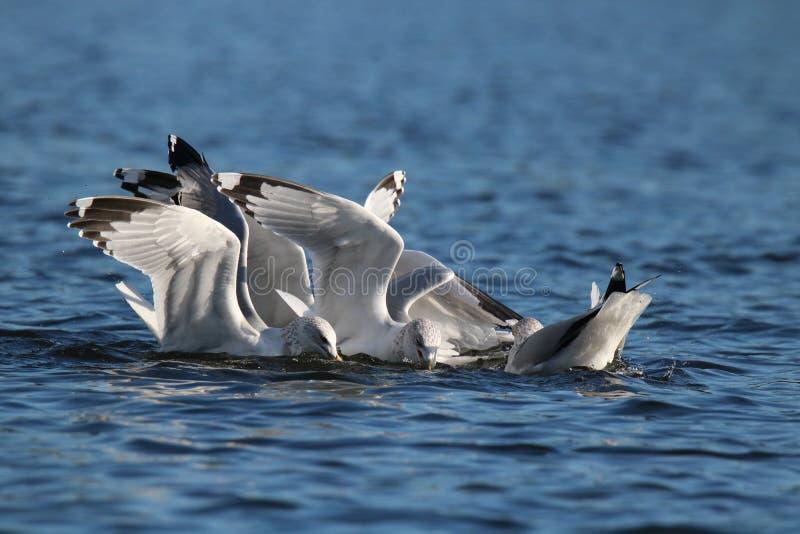 Жадные чайки стоковые фотографии rf