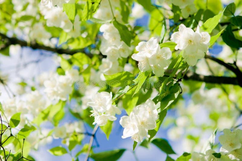 жасмин цветения стоковая фотография rf