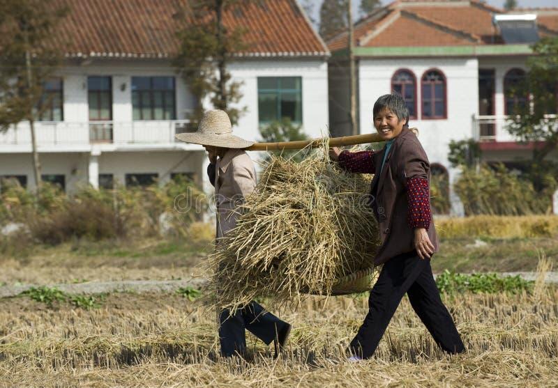 жать мужицких женщин пшеницы сторновки стоковые фотографии rf