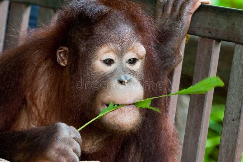 жевать orangutan листьев стоковое фото rf