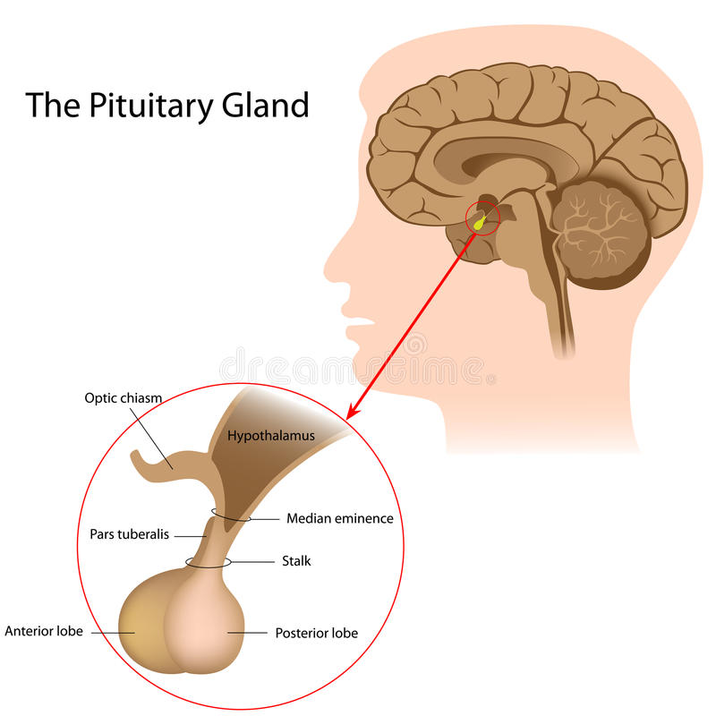 Железа pituitary бесплатная иллюстрация