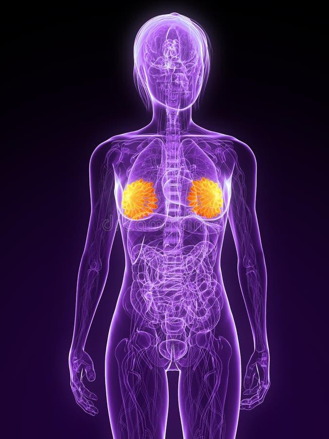 железы выделили mammary бесплатная иллюстрация