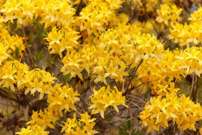 Желтая азалия Luteum рододендрона aka желтая или азалия каприфолия стоковое фото rf