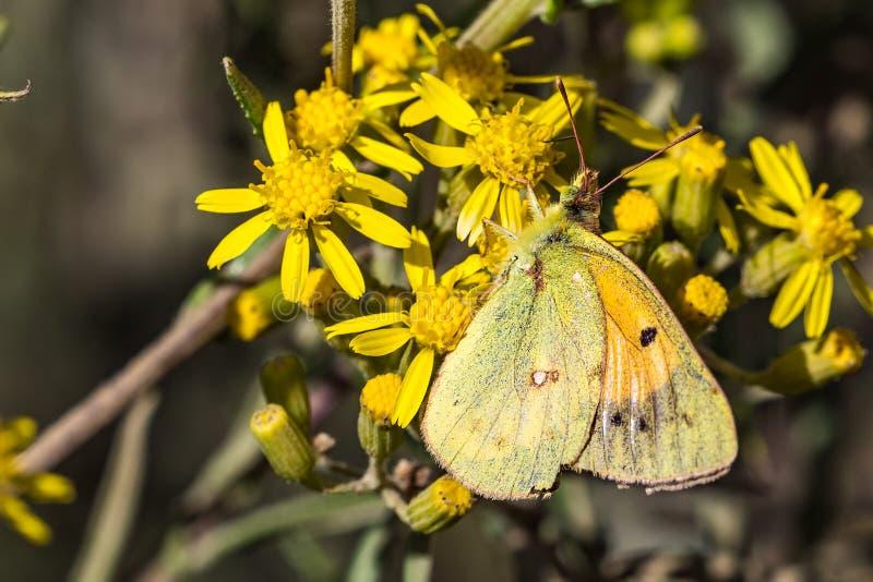 Желтая бабочка в национальном парке гор Simien в северной Эфиопии стоковая фотография