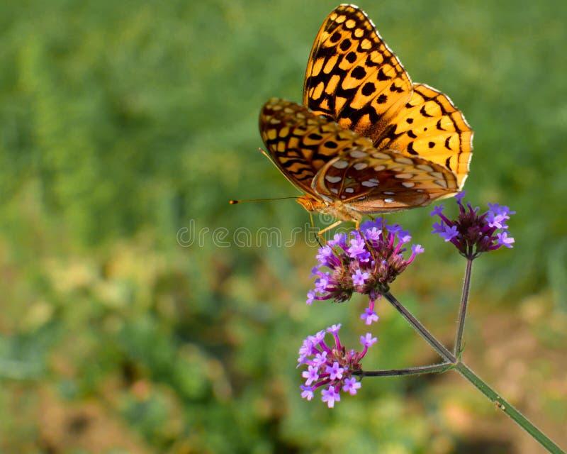 Желтая бабочка на dainty фиолетовом цветке стоковое фото rf