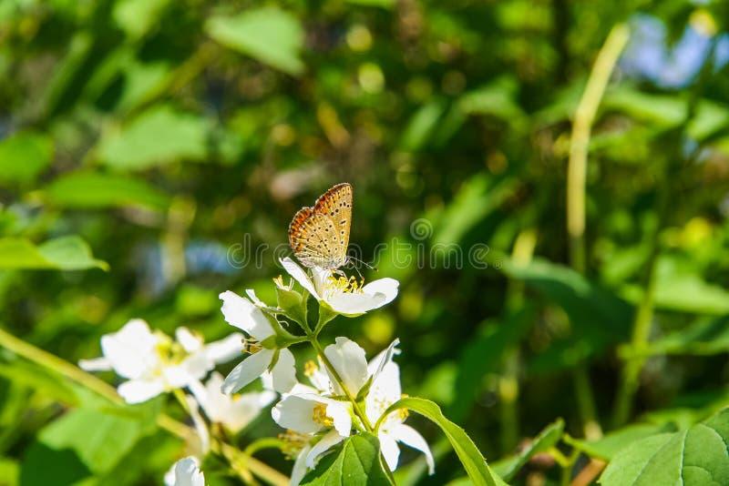 Желтая бабочка сидя самостоятельно на цветке яблока стоковое изображение