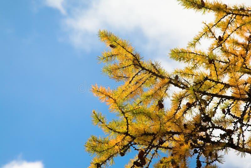 Желтая ветвь дерева лиственницы стоковое фото