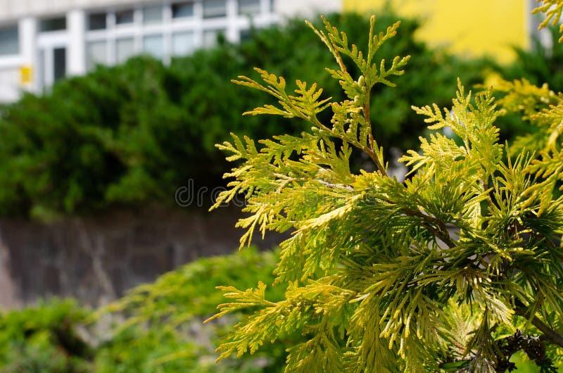 Желтая ветвь можжевельника на предпосылке здания Свободная зона на левой стороне стоковые фото