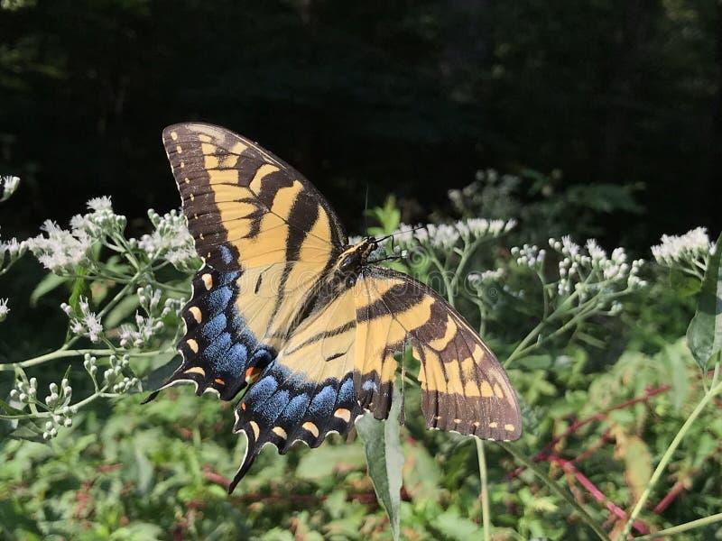 Желтая и черная бабочка - восточный тигр Swallowtail Papilio стоковая фотография rf