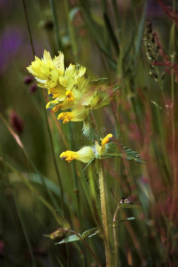 Желтая одичалая орхидея в луге горы стоковые фото