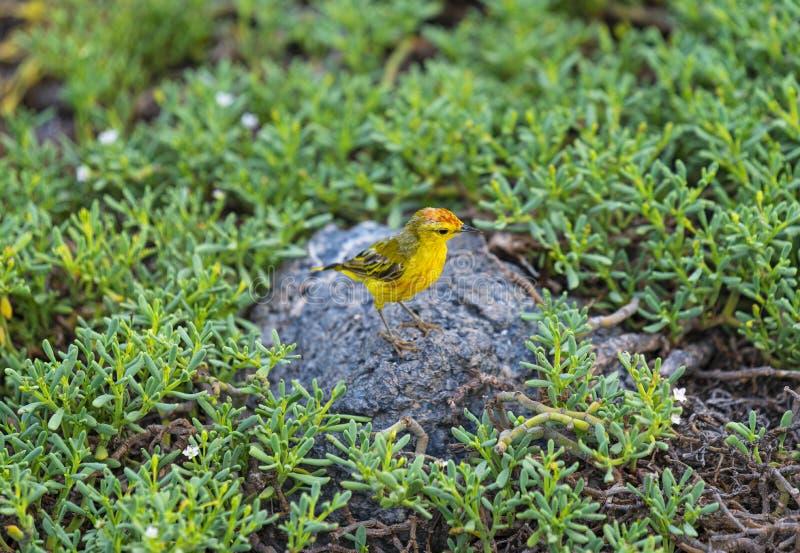 Желтая певчая птица в островах Галапагос, эквадоре стоковое фото rf