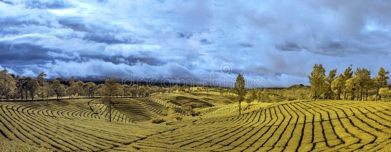 Желтая плантация чая картины стоковое фото rf