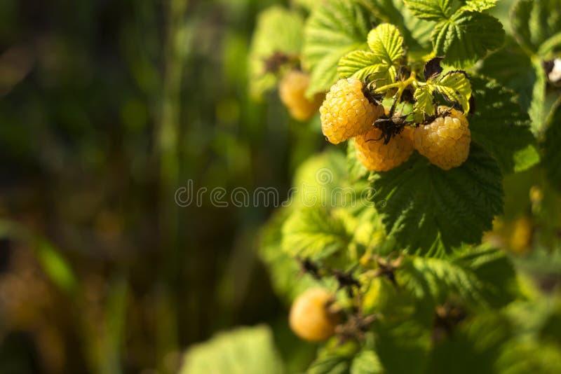 Желтая поленика растет на кусте в саде Полезные ягоды, предпосылка лета стоковое фото rf