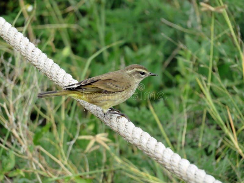 Желтая птица в юго-западной Флориде стоковые фото