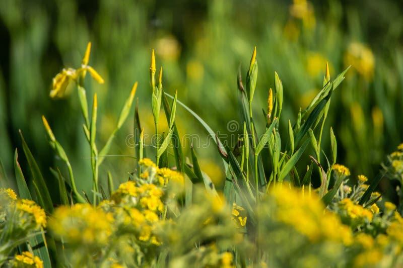 Желтая радужка воды в глуши Texel Голландии стоковые изображения rf