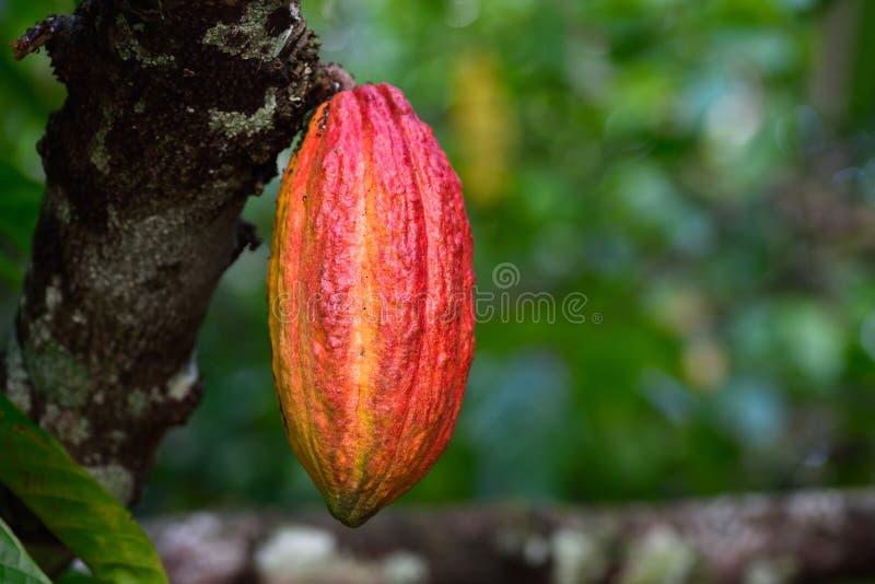 Желтая смертная казнь через повешение плодоовощ стручка какао на дереве стоковые изображения